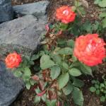Цветы и цветники