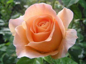 Уход за розами в июле